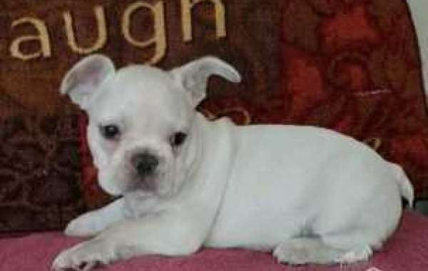 French Bulldog Puppies - One Bark Plaza